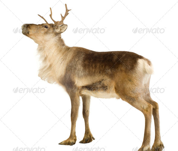 reindeer (2 years) - Stock Photo - Images