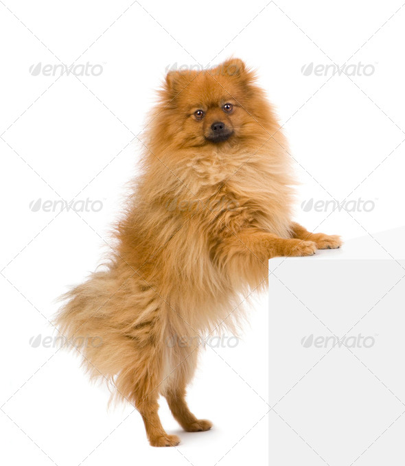 Spitz  (3 years) - Stock Photo - Images