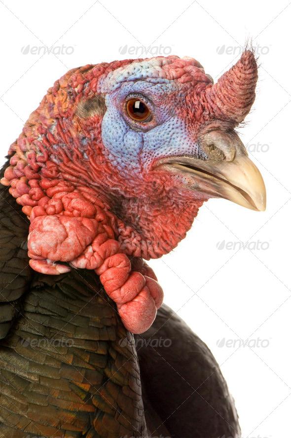 turkey - Stock Photo - Images