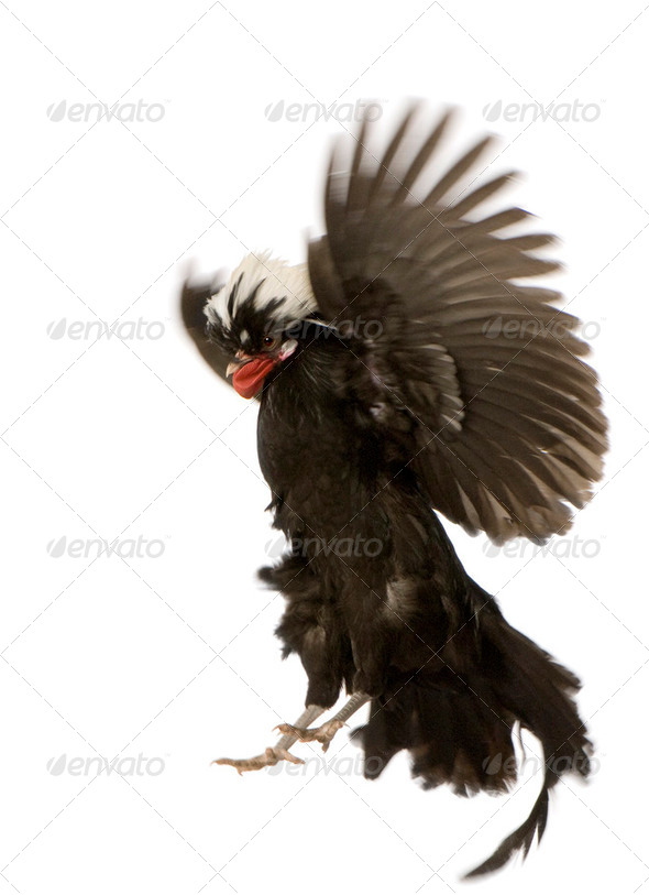Dutch Rooster - Stock Photo - Images
