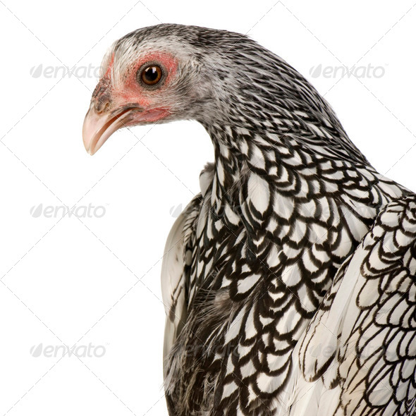 Sebright Bantams - Stock Photo - Images