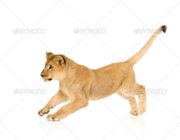 Lion Cub (6 months) - Stock Photo - Images