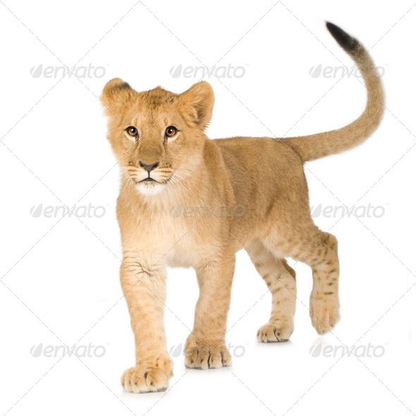 Lion Cub (6 months) - Stock Photo - Images