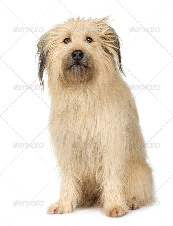 Bastard (4 years) - Stock Photo - Images
