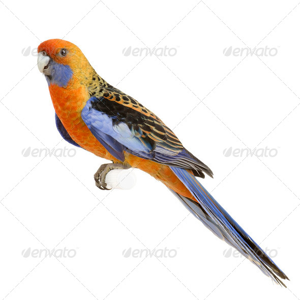 Crimson Rosella - Platycercus elegans - Stock Photo - Images