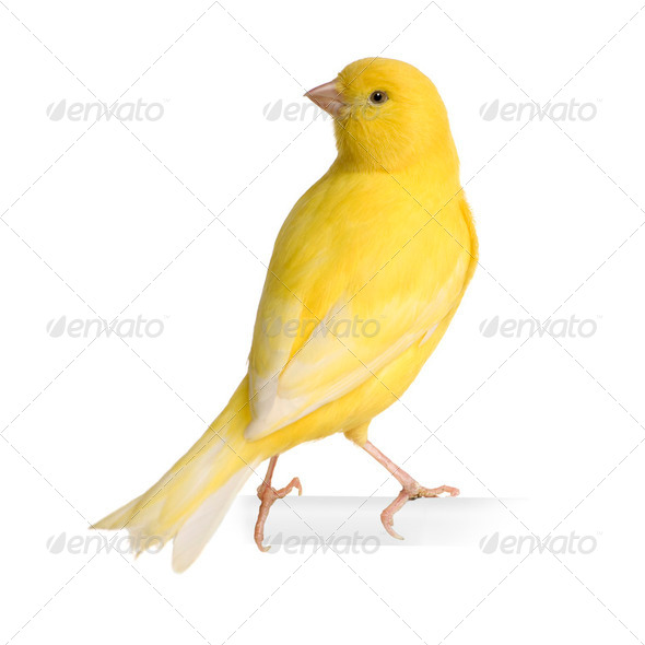 Yellow canary - Serinus canaria on its perch - Stock Photo - Images