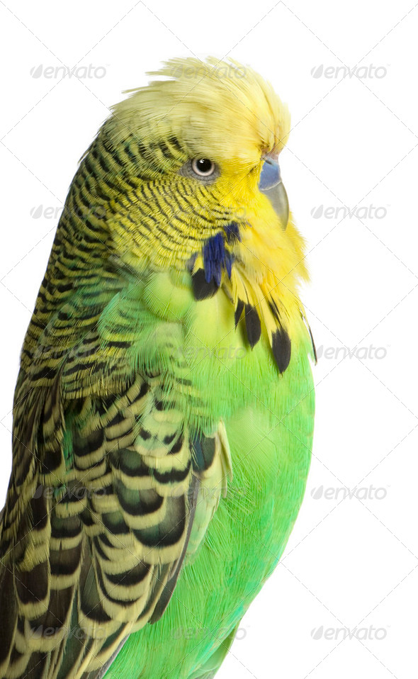 Budgerigar - Melopsittacus undulatus - Stock Photo - Images