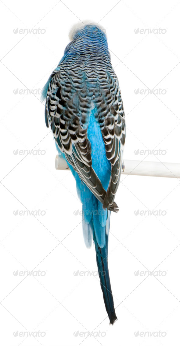 Rear view of Blue Budgerigar bird, Melopsittacus undulatus, against white background, studio shot - Stock Photo - Images
