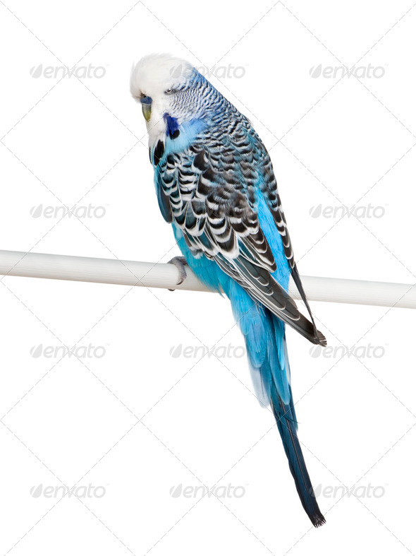 Blue Budgerigar bird perched on pole in front of white background, studio shot - Stock Photo - Images