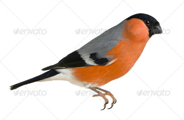 Eurasian Bullfinch, Pyrrhula pyrrhula, in front of white background - Stock Photo - Images