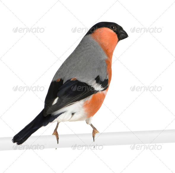Eurasian Bullfinch - Pyrrhula pyrrhula - Stock Photo - Images