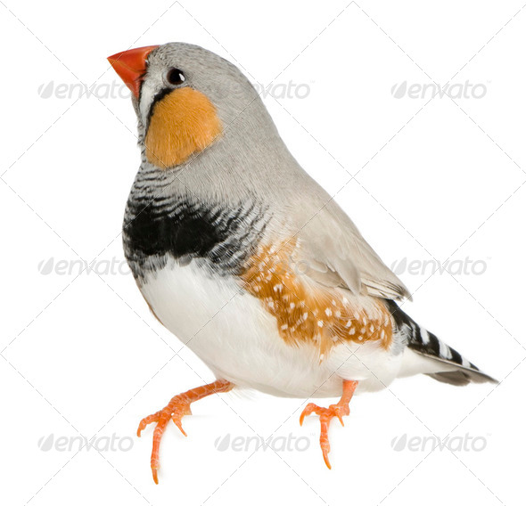Zebra Finch, Taeniopygia guttata, perched in front of white background - Stock Photo - Images