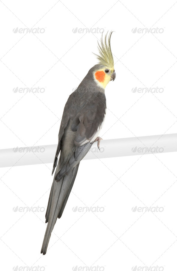 Cockatiel - Nymphicus hollandicus - Stock Photo - Images