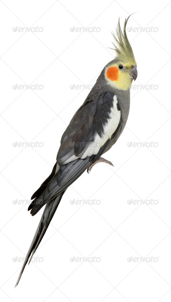 Cockatiel, Nymphicus hollandicus, perched in front of white background - Stock Photo - Images