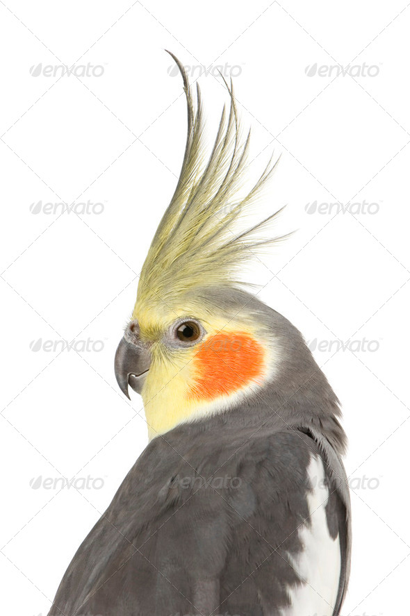 Cockatiel - Nymphicus hollandicus - Stock Photo - Images