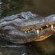 American Alligator - PhotoDune Item for Sale