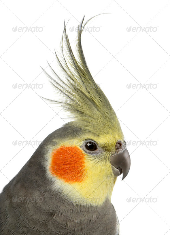 Cockatiel, Nymphicus hollandicus, in front of white background - Stock Photo - Images