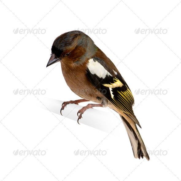 Chaffinch - Fringilla coelebs on its perch - Stock Photo - Images