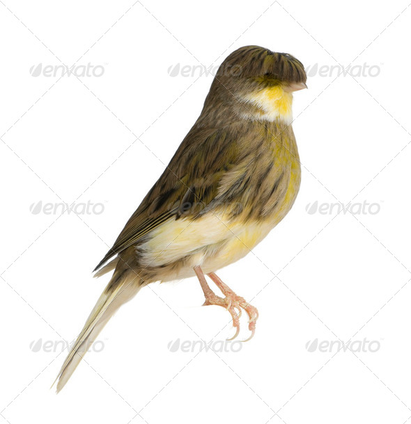 Gloster Corona Canary, Serinus canaria, perched in front of white background - Stock Photo - Images
