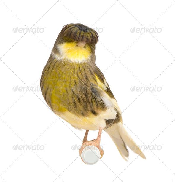 Gloster Corona Canary - Serinus canaria - Stock Photo - Images
