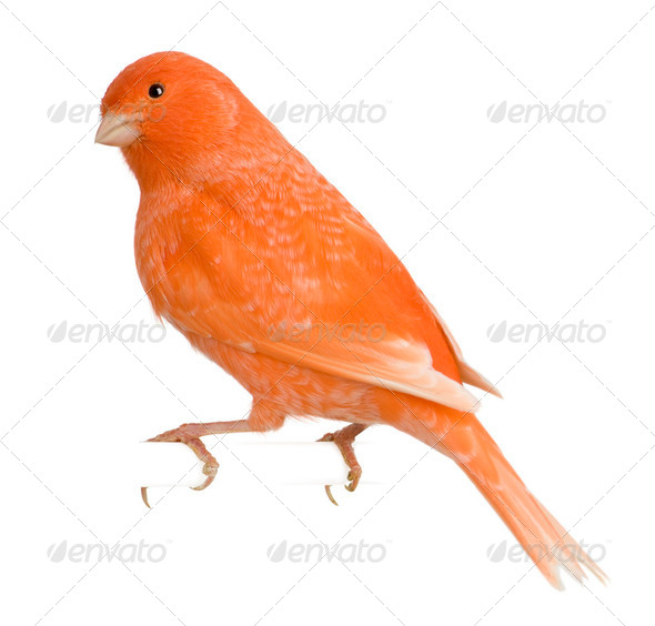 Red canary, Serinus canaria, perched in front of white background - Stock Photo - Images
