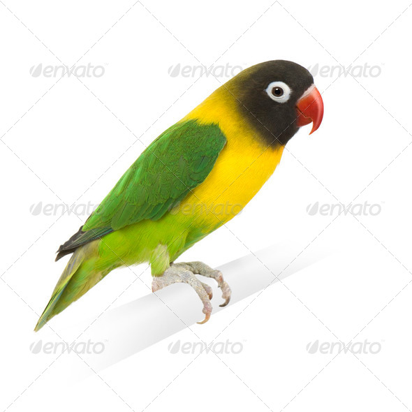 Masked Lovebird - Agapornis personata - Stock Photo - Images