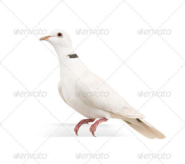 Ringneck Dove - Stock Photo - Images