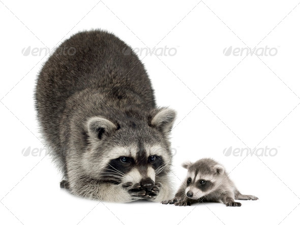 raccoonand her baby - Procyon lotor - Stock Photo - Images