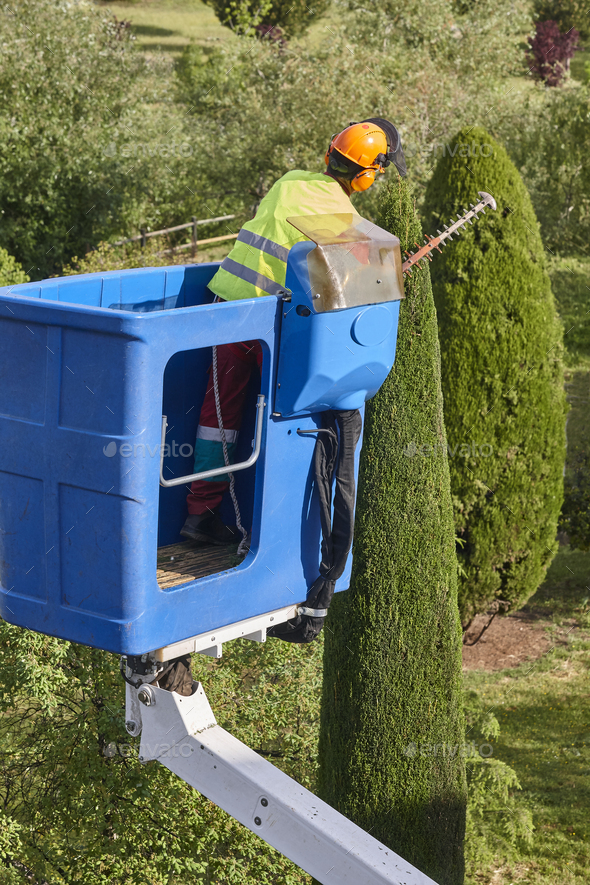 Gardener pruning a cypress tree with a chainsaw and a crane - Stock Photo - Images
