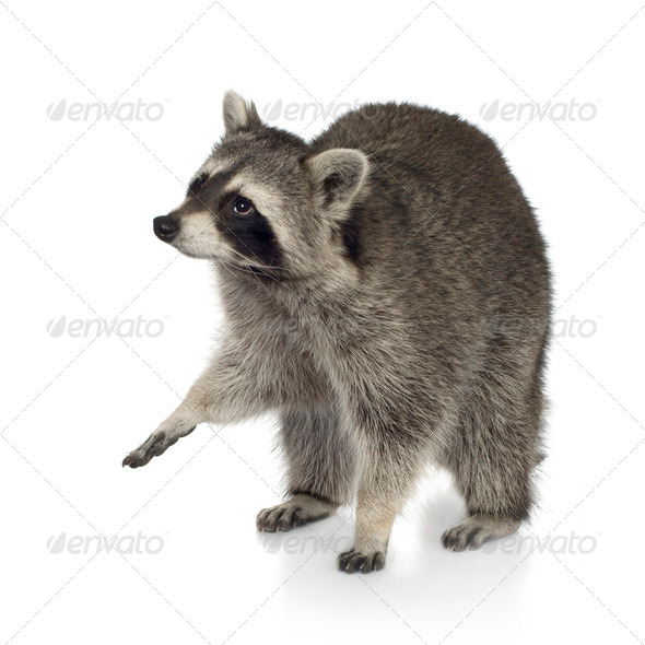 raccoon (9 months) -  Procyon lotor - Stock Photo - Images