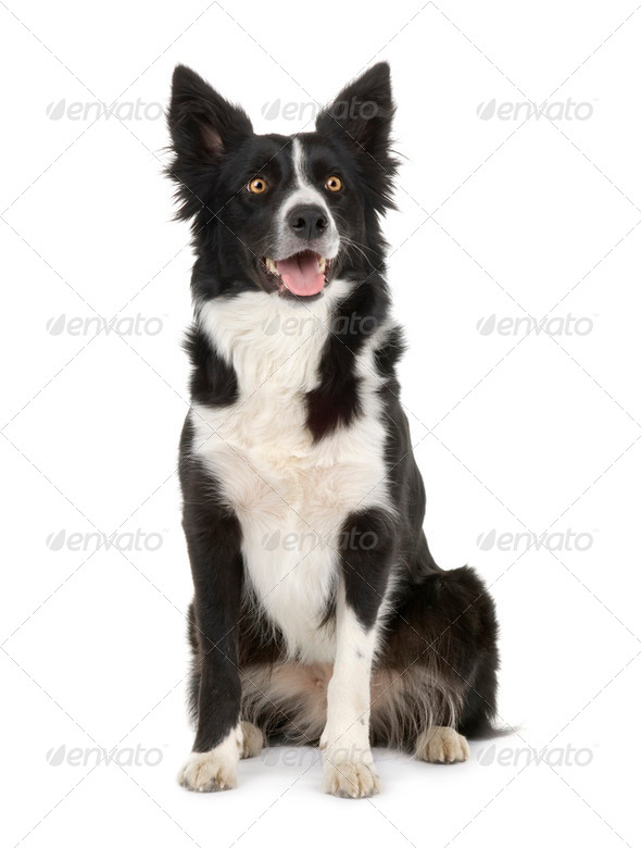 Border Collie () - Stock Photo - Images
