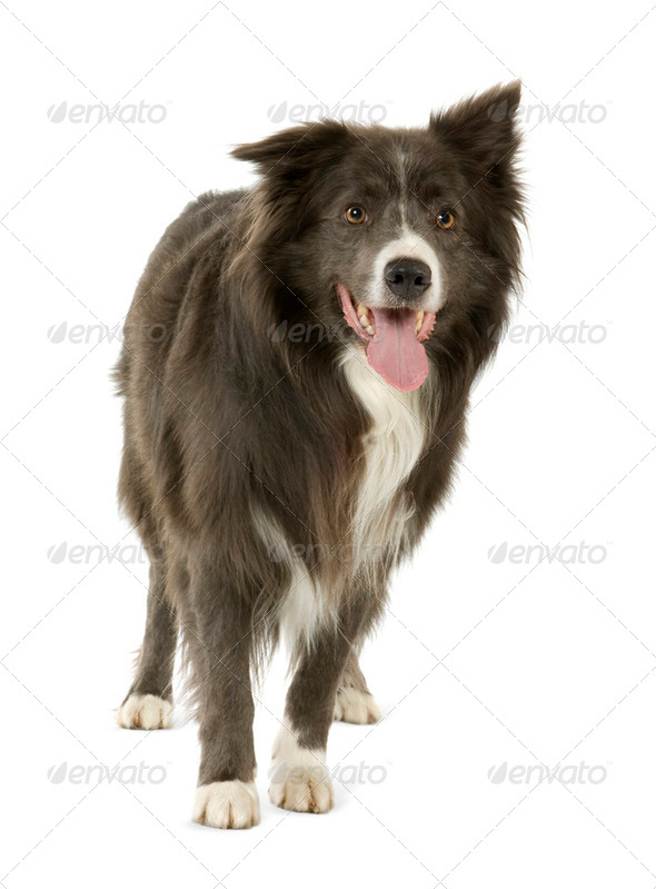 Border Collie (2 years) - Stock Photo - Images
