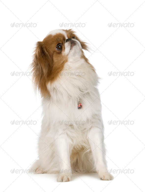Japanese Chin Dog - Stock Photo - Images
