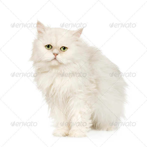 British Longhair - Stock Photo - Images