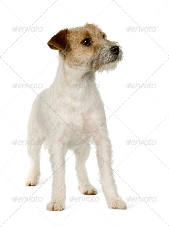 Jack russell - Stock Photo - Images
