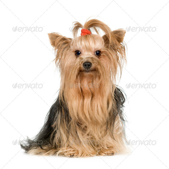 Yorkshire Terrier - Stock Photo - Images