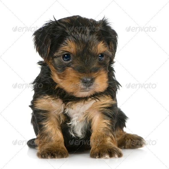 Yorkshire Terrier Puppies (1 month) - Stock Photo - Images