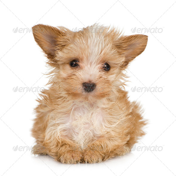 Yorkshire Terrier Puppy (2 months) - Stock Photo - Images