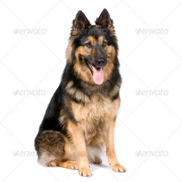 German shepherd (3 years) - Stock Photo - Images