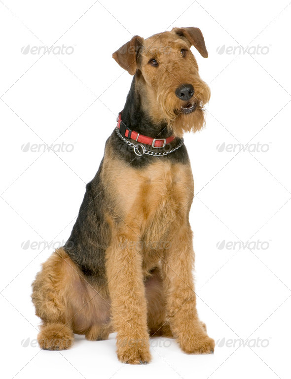 Airedale Terrier (1 year) - Stock Photo - Images