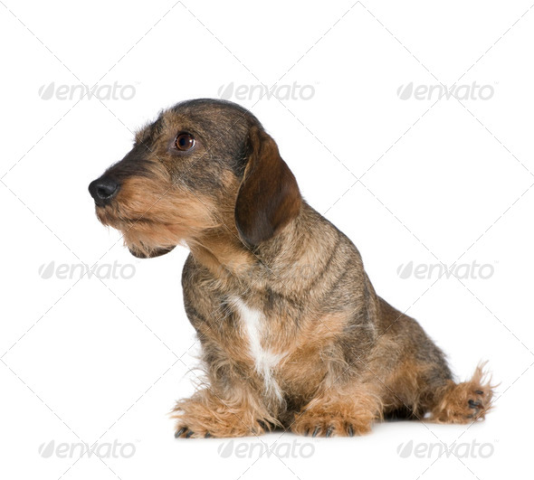 Dachshund (2 years) - Stock Photo - Images