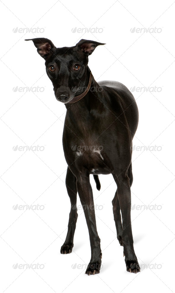 Whippet (2 years) - Stock Photo - Images