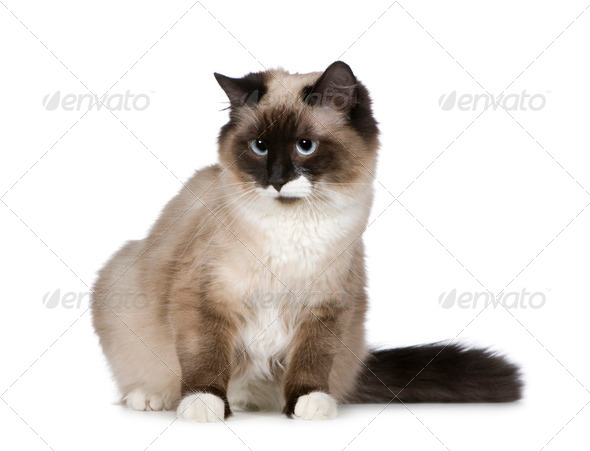 Birman (1 years) - Stock Photo - Images