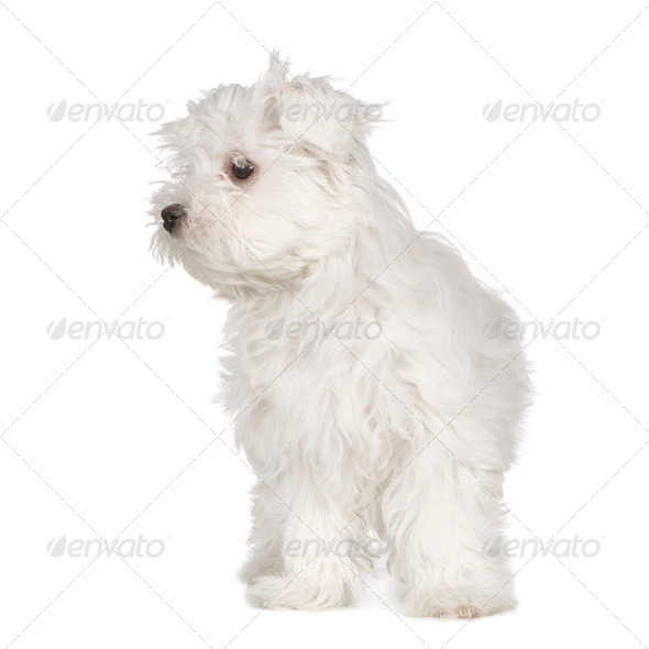 maltese dog (3 months) - Stock Photo - Images