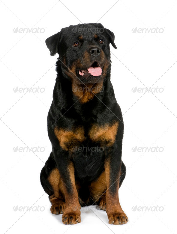 rottweiler (3 years) - Stock Photo - Images