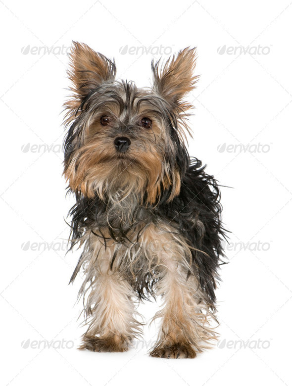 Yorkshire Terrier (5 months) - Stock Photo - Images