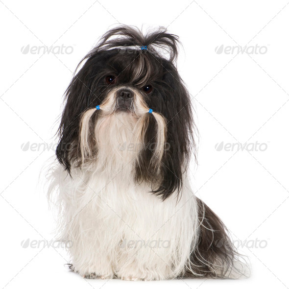 Shih Tzu (15 months) - Stock Photo - Images