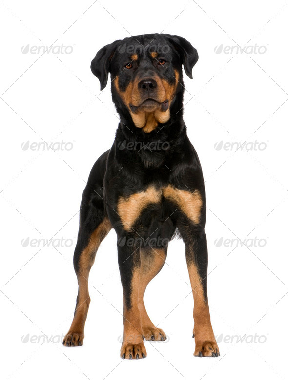 rottweiler (2 years) - Stock Photo - Images