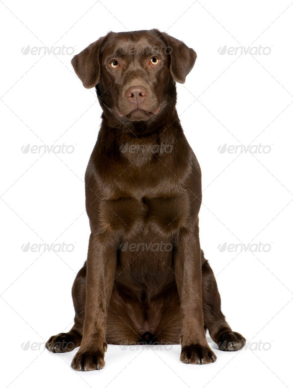 Labrador (8 months) - Stock Photo - Images