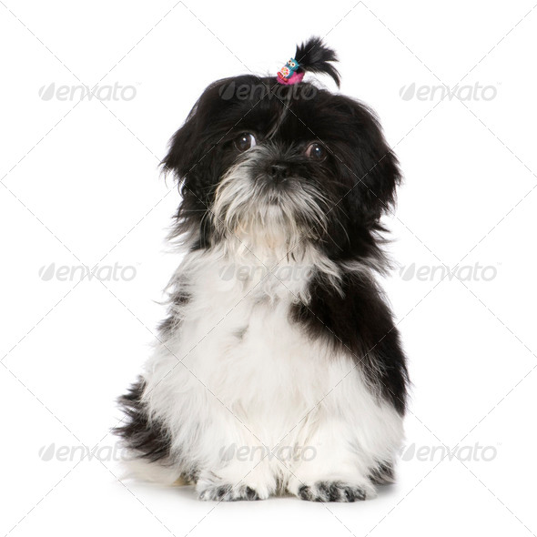 Shih Tzu (4 months) - Stock Photo - Images